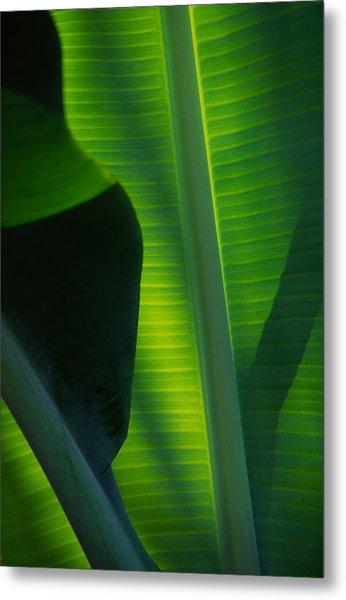 Backlit Banana Leaves Metal Print by Bob Coates