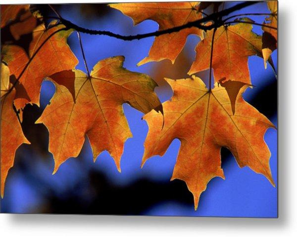 Backlit Maple Leaves Metal Print by Paul Pobiak