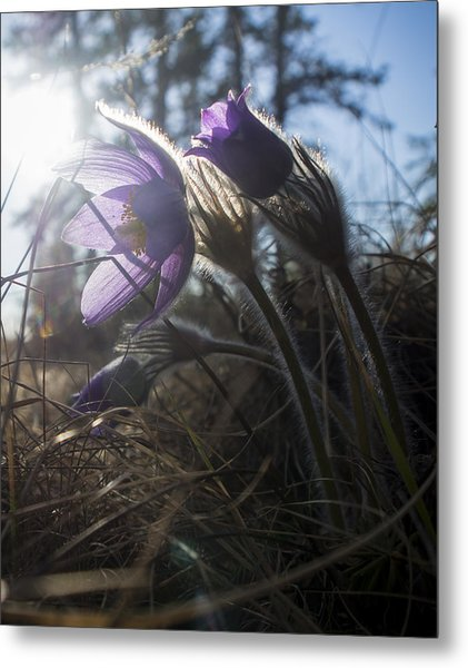 Backlit Pasque Flowers Metal Print