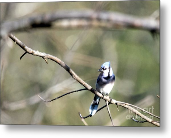 Backyard Blue Jay Metal Print