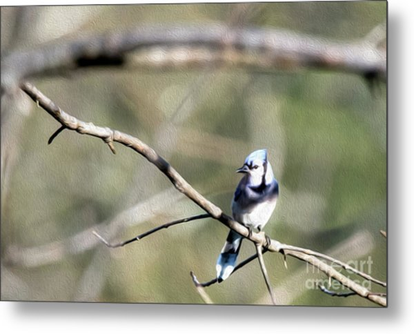 Backyard Blue Jay Oil Metal Print