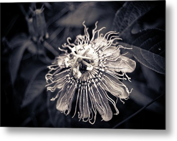 Clematis Flower Bloom Metal Print