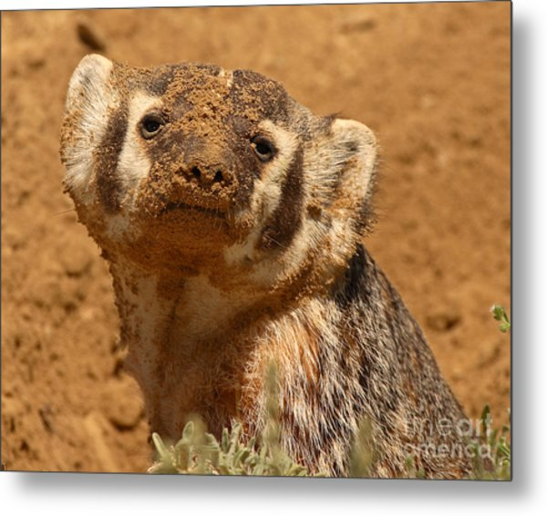 Badger Covered In Dirt From Digging Metal Print by Max Allen