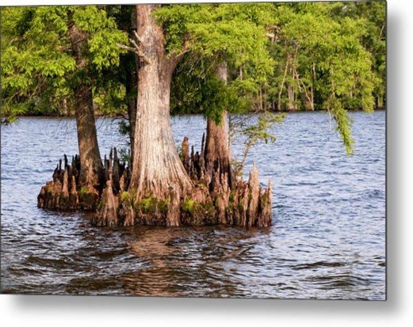 Bald Cypress Trees Metal Print