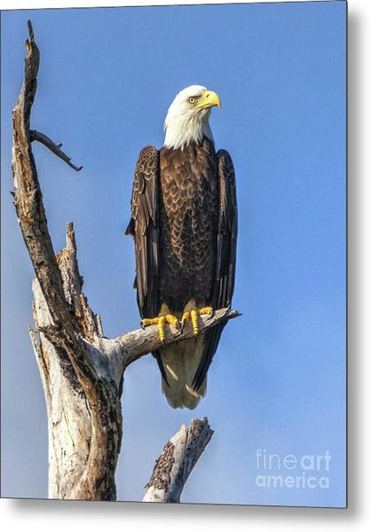 Bald Eagle 6366 Metal Print