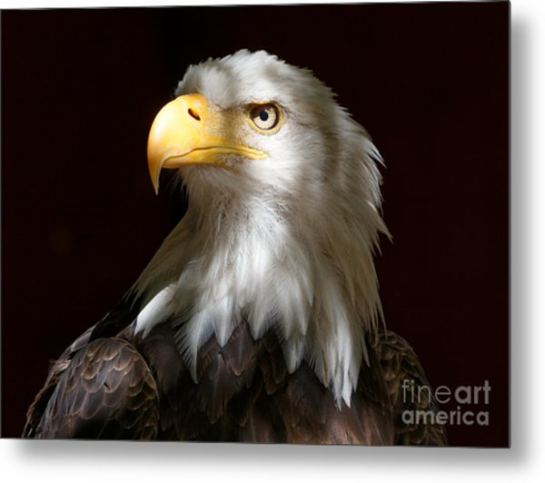 Bald Eagle Closeup Portrait Metal Print