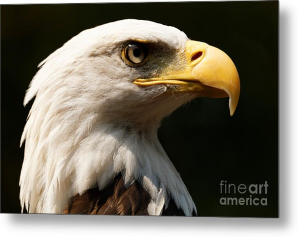 Bald Eagle Delight Metal Print