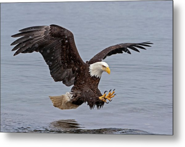 Bald Eagle Diving For Fish In Falling Snow Metal Print