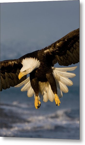 Bald Eagle In Action Metal Print