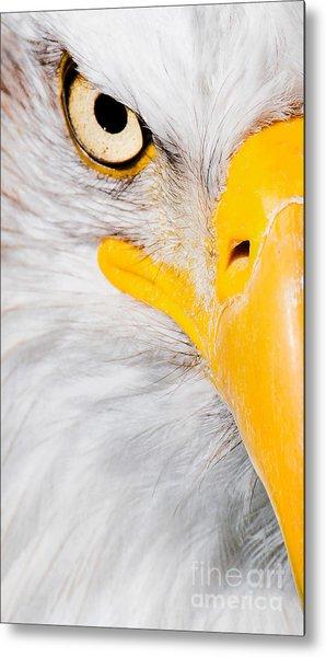 Bald Eagle In Focus Metal Print