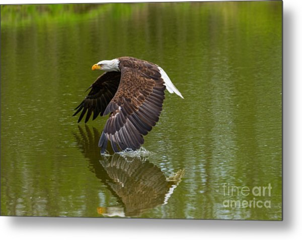 Bald Eagle In Low Flight Over A Lake Metal Print