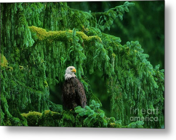 Metal Print featuring the photograph Bald Eagle In Temperate Rainforest Alaska Endangered Species by Dave Welling