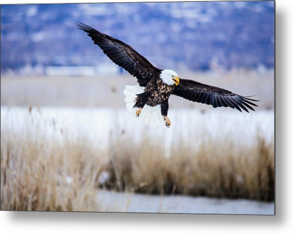 Metal Print featuring the photograph Bald Eagle Landing by Bryan Carter