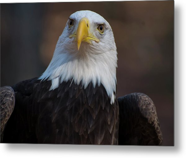 Bald Eagle Looking Right Metal Print