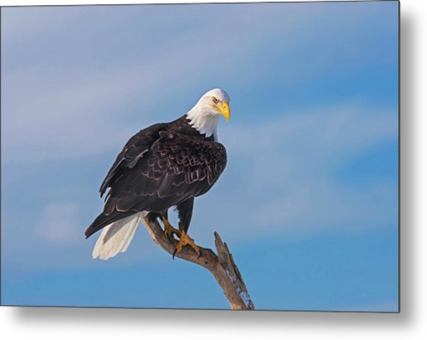 Bald Eagle Majesty Metal Print