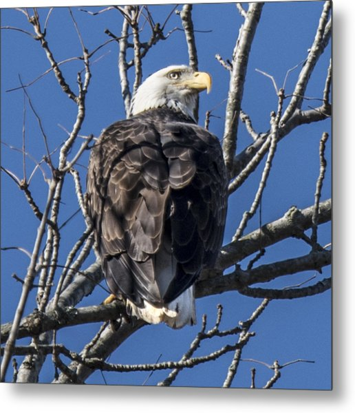 Bald Eagle Perched Metal Print
