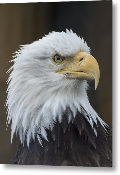 Bald Eagle Portrait Metal Print