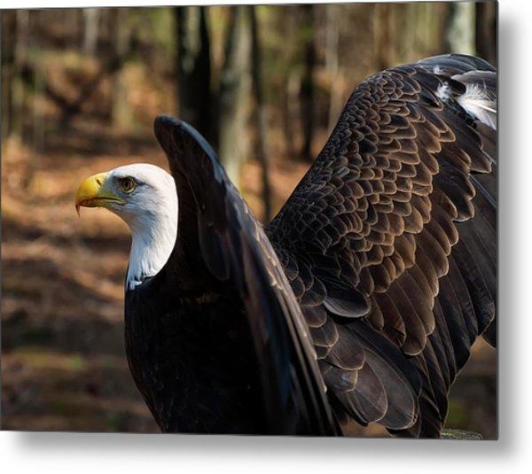 Bald Eagle Preparing For Flight Metal Print