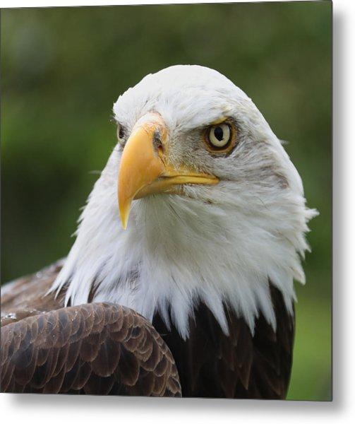 Bald Eagle Slick Back Metal Print