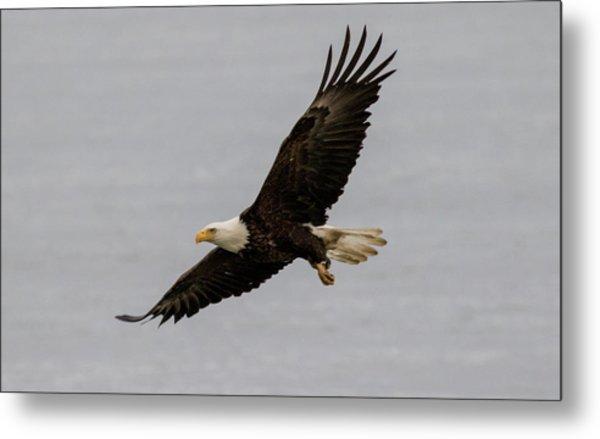 Bald Eagle Soaring Metal Print