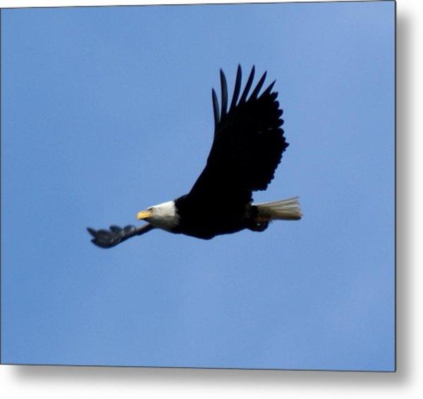 Bald Eagle Soaring High Metal Print