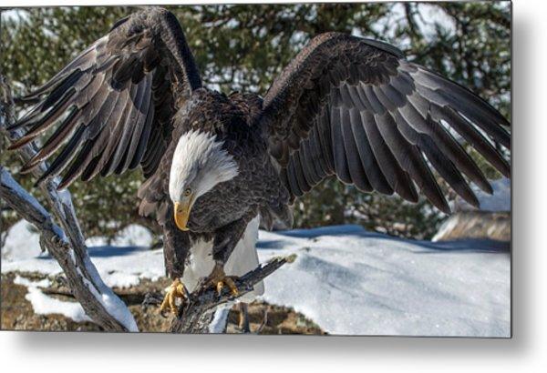 Bald Eagle Spread Metal Print