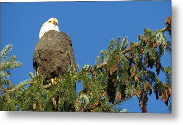 Bald Eagle Sunbathing Metal Print