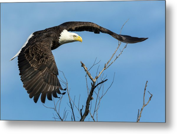 Bald Eagle Swoosh Metal Print