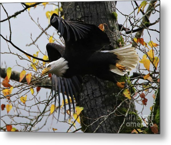 Bald Eagle Takes Flight Metal Print
