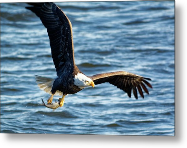 Bald Eagle With Fish Metal Print