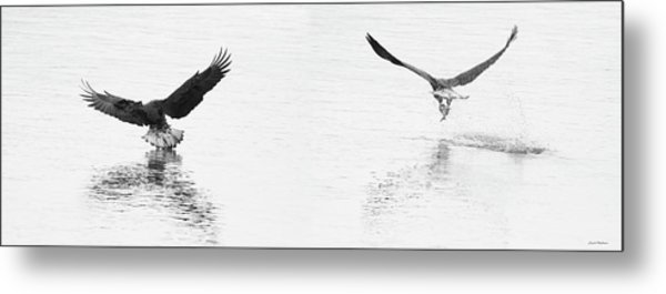 Bald Eagles Fishing Metal Print