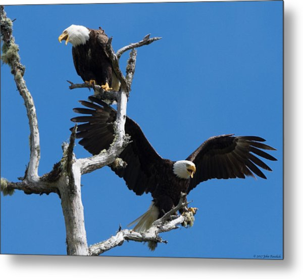 Bald Eagles Metal Print