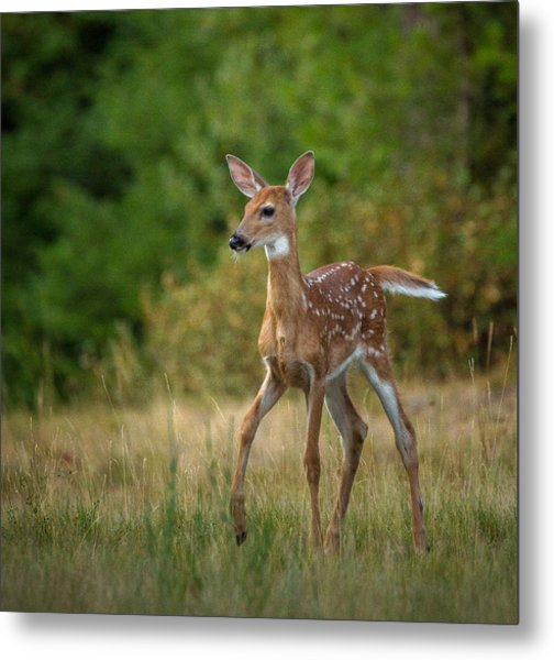 Metal Print featuring the photograph Bambi // Whitefish, Montana  by Nicholas Parker