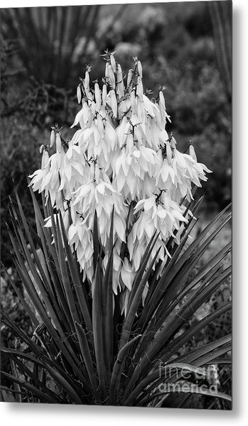 Banana Yucca In Bloom Metal Print