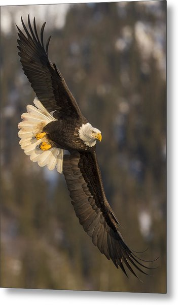 Banking Bald Eagle Metal Print
