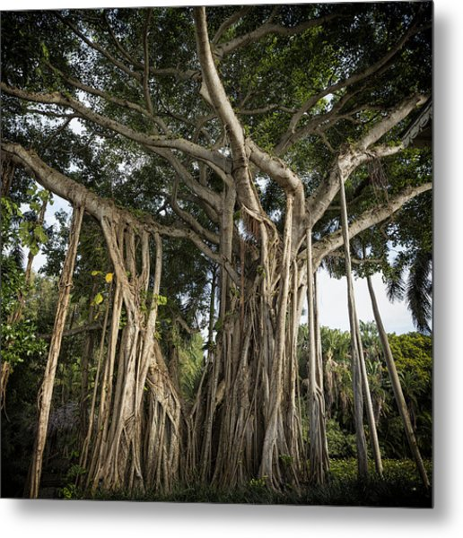 Banyan Tree At Bonnet House Metal Print
