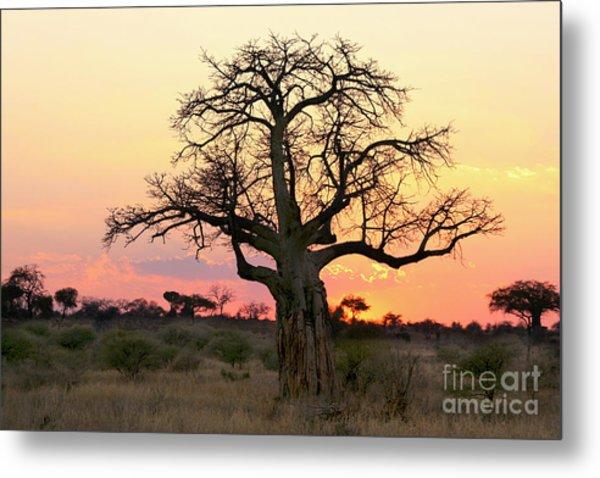 Baobab Tree At Sunset  Metal Print