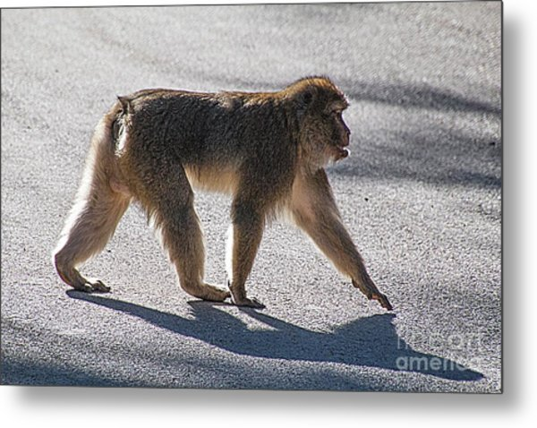 Barbary Macaque, Morocco Metal Print by Jim Wright