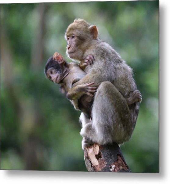 Barbary Macaque Mother And Baby Metal Print