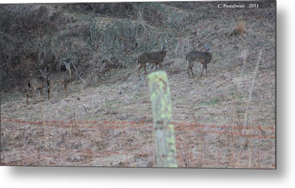 Barbwire And Whitetails Metal Print by Carolyn Postelwait