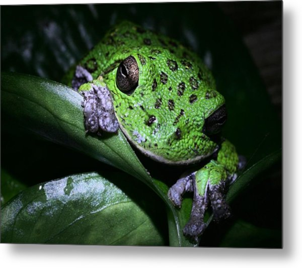 Barking Treefrog Metal Print by JC Findley