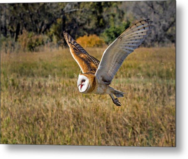 Barn Owl Flight 6 Metal Print