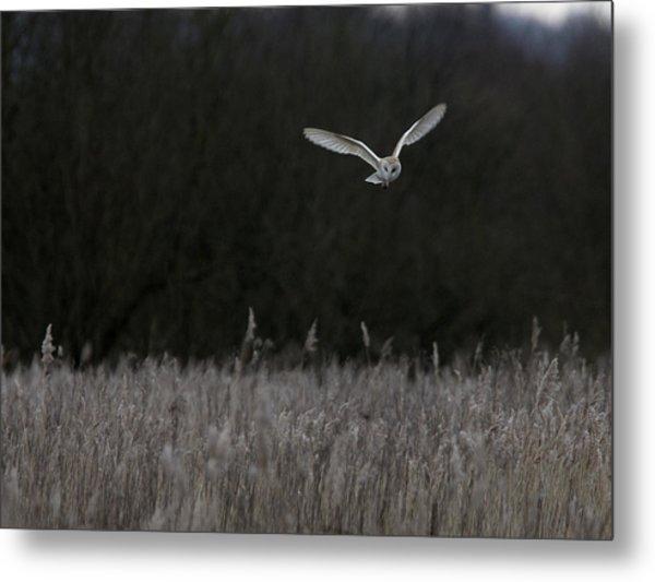 Barn Owl Hunting At Dusk Metal Print