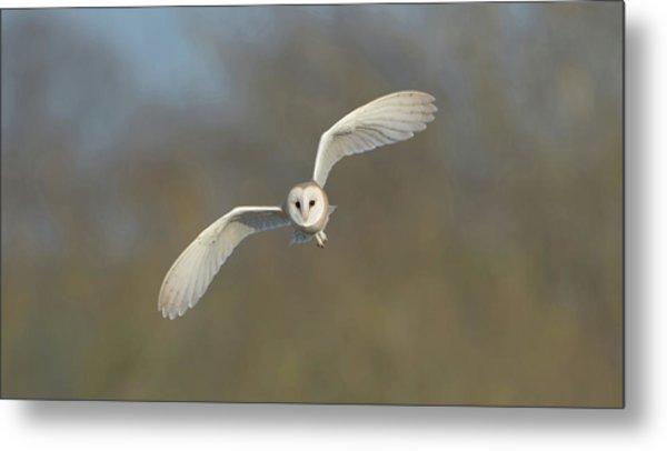 Barn Owl Hunting In Worcestershire Metal Print