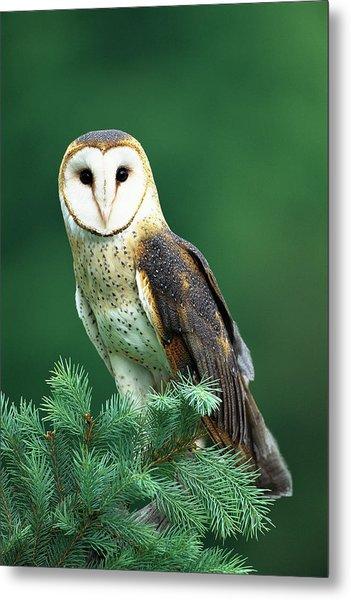 Barn Owl Tyto Alba Portrait, Hudson Metal Print