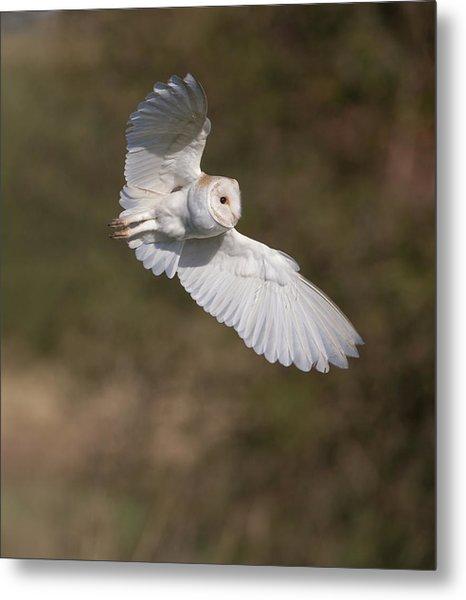 Barn Owl Wings Metal Print
