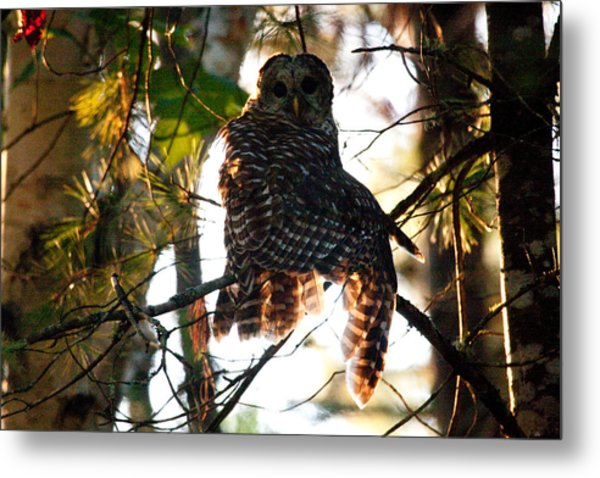 Barred Owl At Sunrise Metal Print