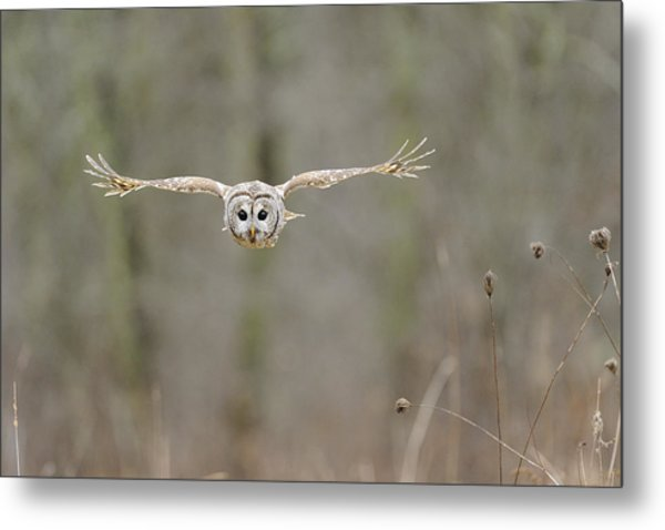Barred Owl In Flight II Metal Print by Scott  Linstead