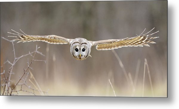 Barred Owl In Flight Metal Print by Scott  Linstead