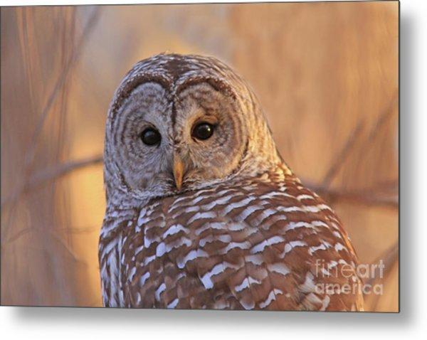 Barred Owl Portrait  Metal Print